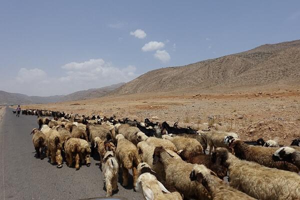 放牧中のヤギと羊の群れ